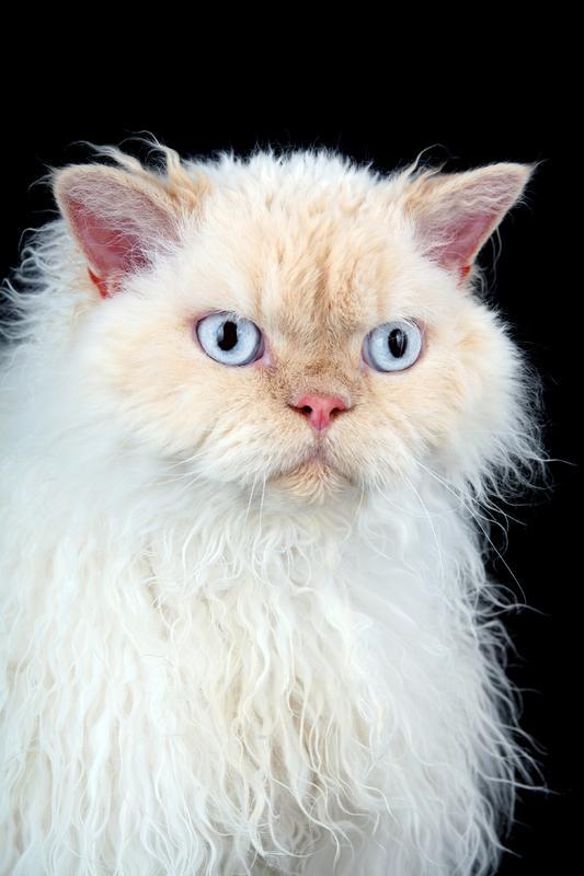 https://cf.ltkcdn.net/cats/images/slide/130992-533x800r1-Selkirk-Rex.jpg