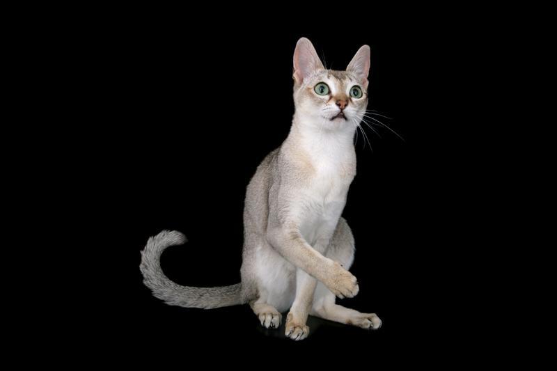 https://cf.ltkcdn.net/cats/images/slide/130993-800x533r1-Singapura.jpg