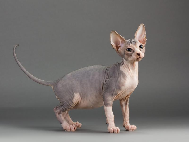 https://cf.ltkcdn.net/cats/images/slide/130995-800x600r1-Sphynx-kitty.jpg