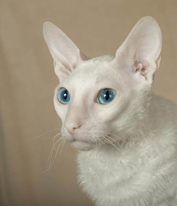 Image Of A Blue Eyed White Cornish Rex Cat