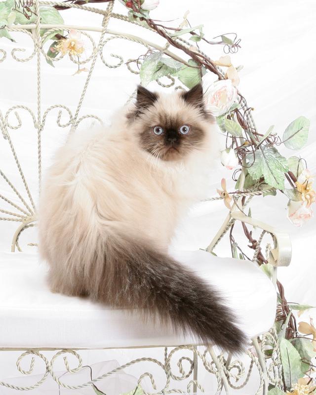 https://cf.ltkcdn.net/cats/images/slide/131214-640x800r1-Blue-eyed-Himalayan.jpg