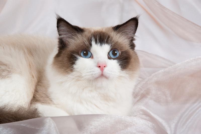 https://cf.ltkcdn.net/cats/images/slide/131215-800x536r1-Blue-eyed-Ragdoll.jpg