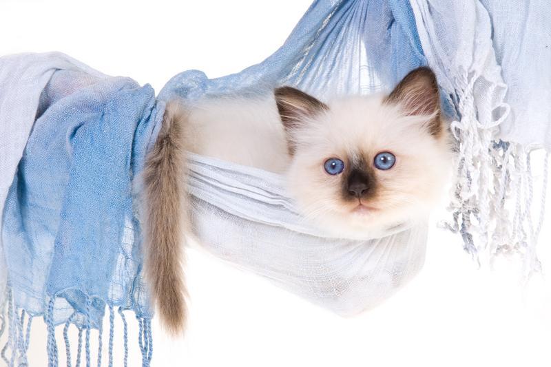 https://cf.ltkcdn.net/cats/images/slide/131218-800x533r1-Blue-eyed-Birman-kitten.jpg