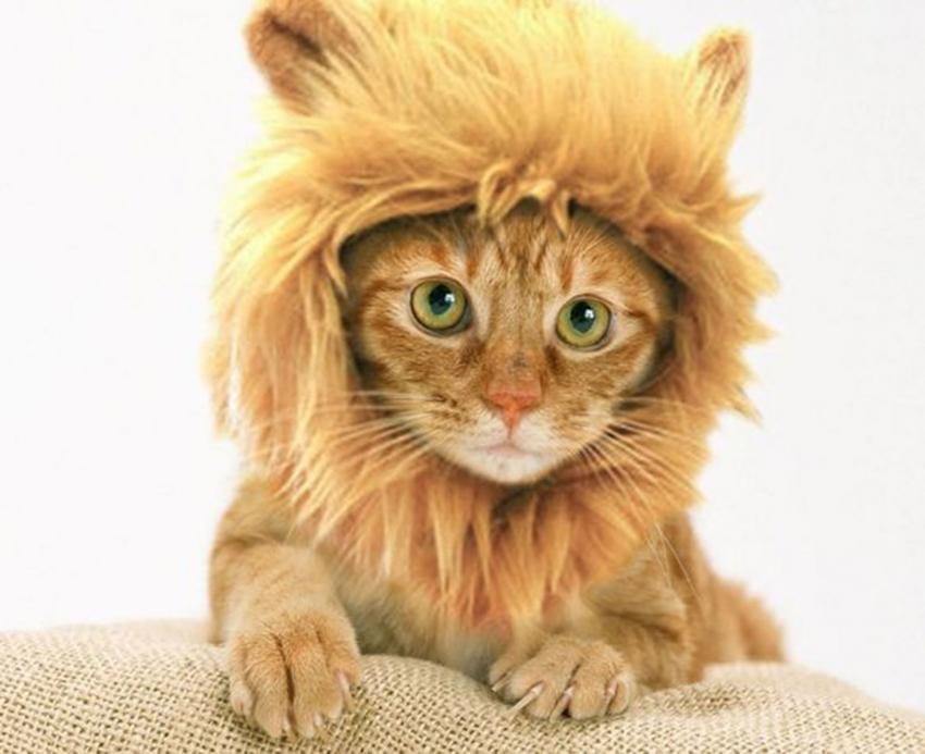 Lion cat costume & Silly Cats in Halloween Costumes | LoveToKnow