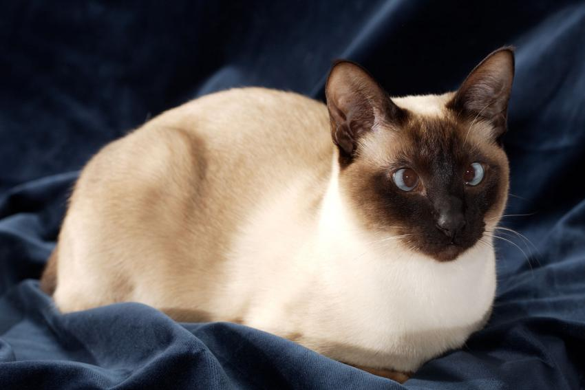 siamese cats chocolate point wwwpixsharkcom images