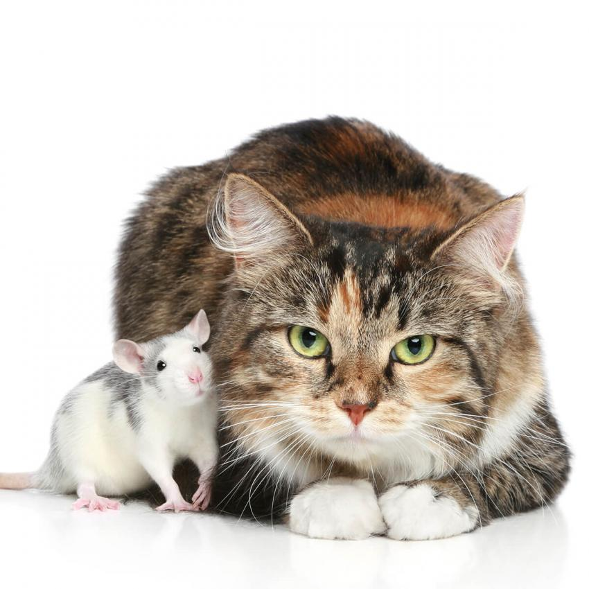 https://cf.ltkcdn.net/cats/images/slide/236306-850x850-1-cat-rat.jpg