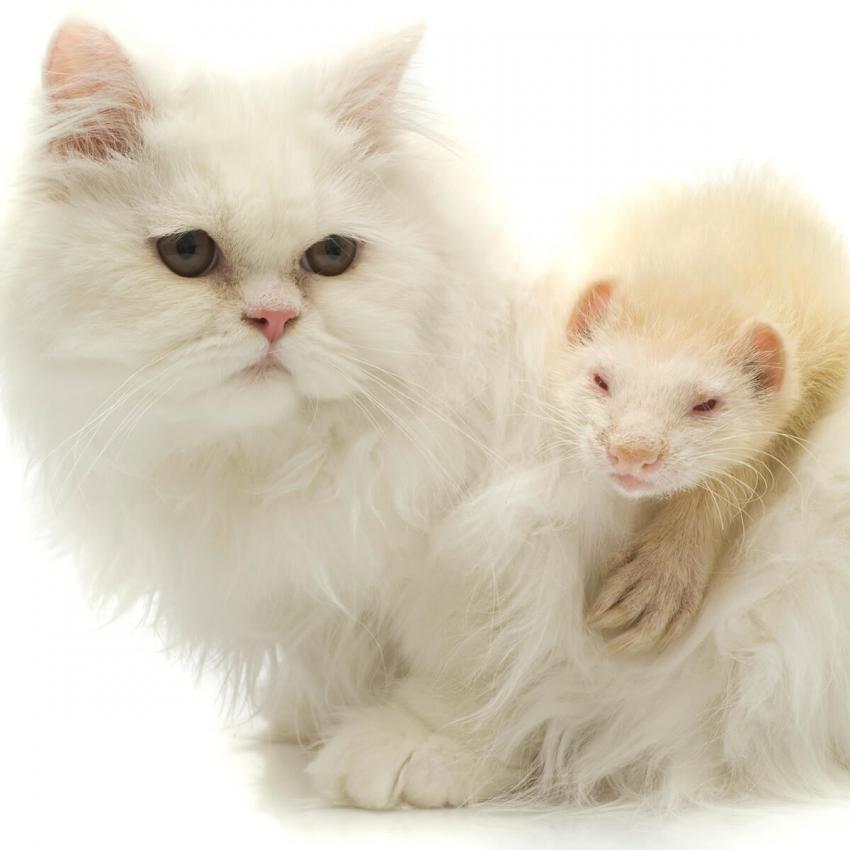 https://cf.ltkcdn.net/cats/images/slide/236310-850x850-6-cat-ferret.jpg