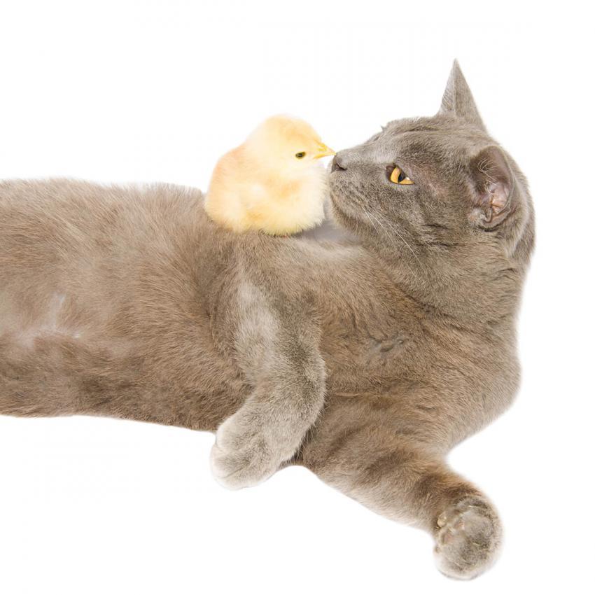 https://cf.ltkcdn.net/cats/images/slide/236311-850x850-8-cat-baby-chick.jpg