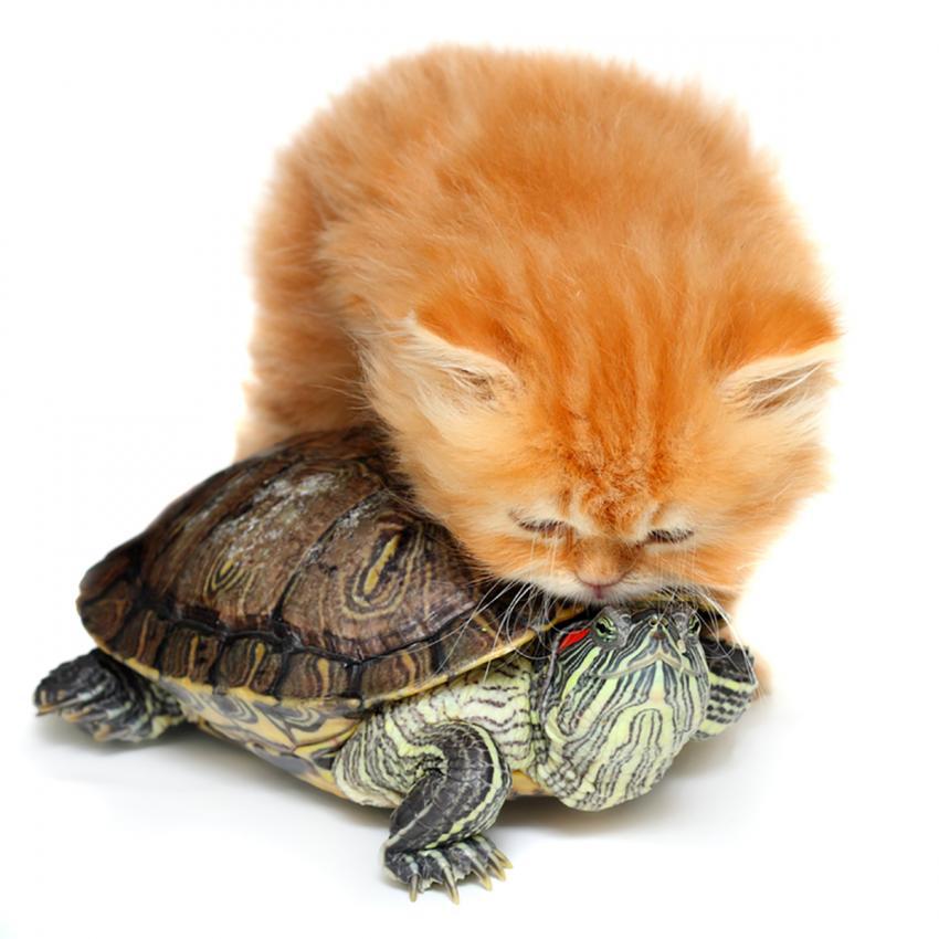 https://cf.ltkcdn.net/cats/images/slide/236313-850x850-7-kitten-turtle.jpg