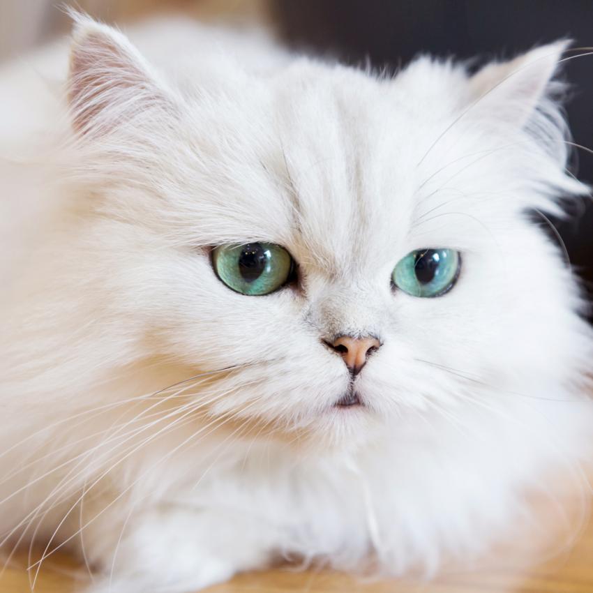 https://cf.ltkcdn.net/cats/images/slide/242140-850x850-white-persian.jpg