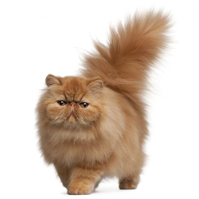 https://cf.ltkcdn.net/cats/images/slide/242155-850x850-fluffy.jpg