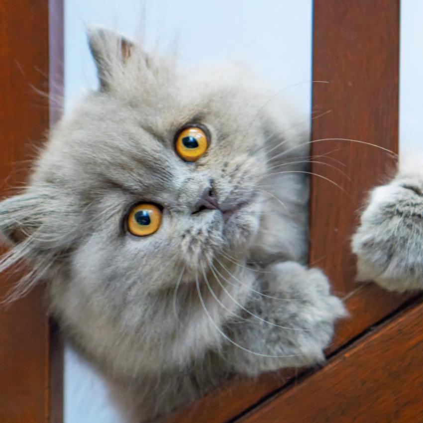 https://cf.ltkcdn.net/cats/images/slide/242156-850x850-Persian-kitten.jpg