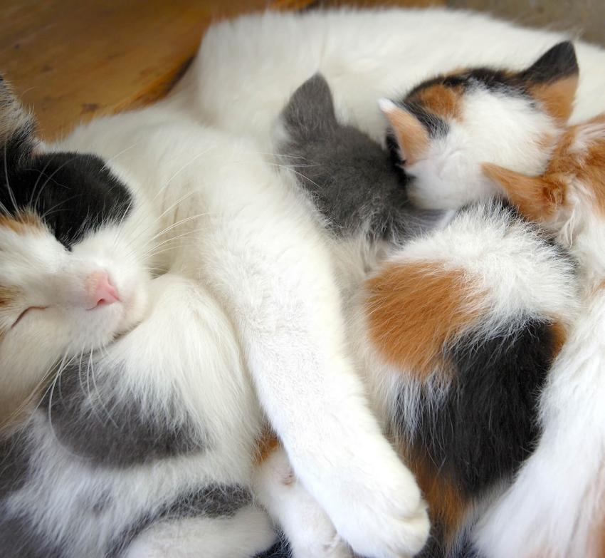 https://cf.ltkcdn.net/cats/images/slide/242628-850x783-4-calico-cats.jpg