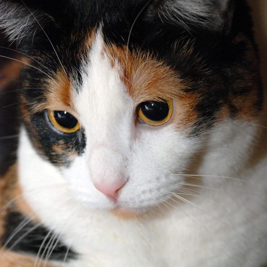 https://cf.ltkcdn.net/cats/images/slide/242629-850x850-5-calico-cats.jpg