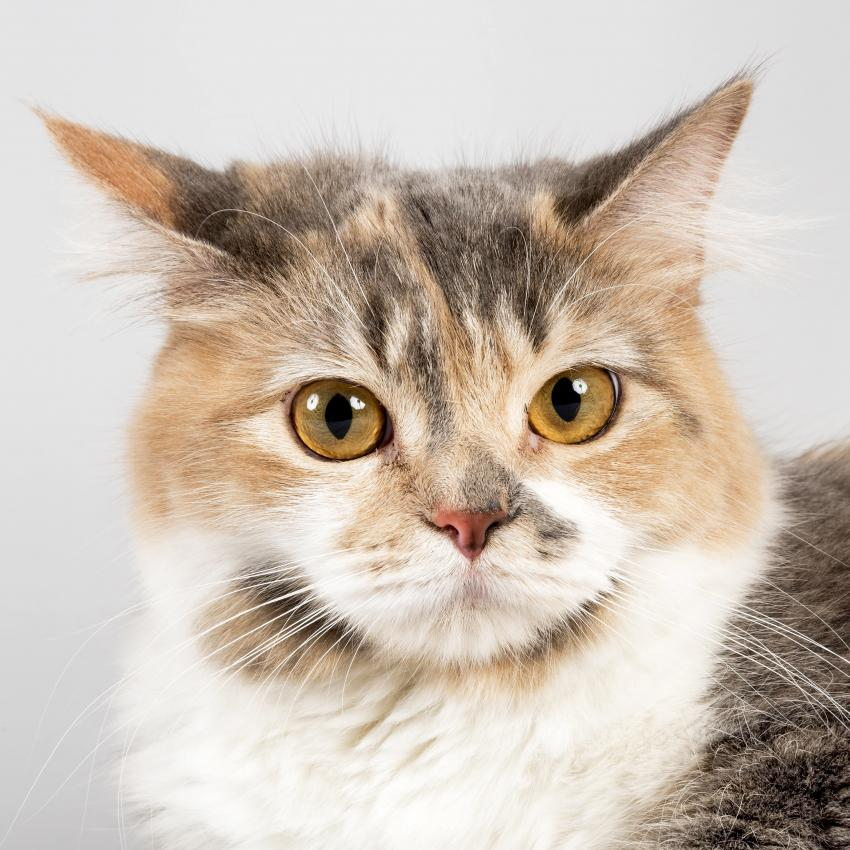 https://cf.ltkcdn.net/cats/images/slide/243793-850x850-multicolor-manx.jpg