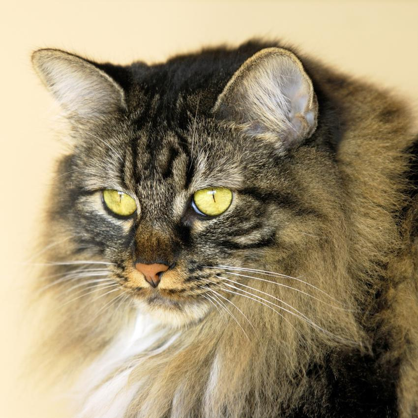 https://cf.ltkcdn.net/cats/images/slide/243811-850x850-queen-manx.jpg