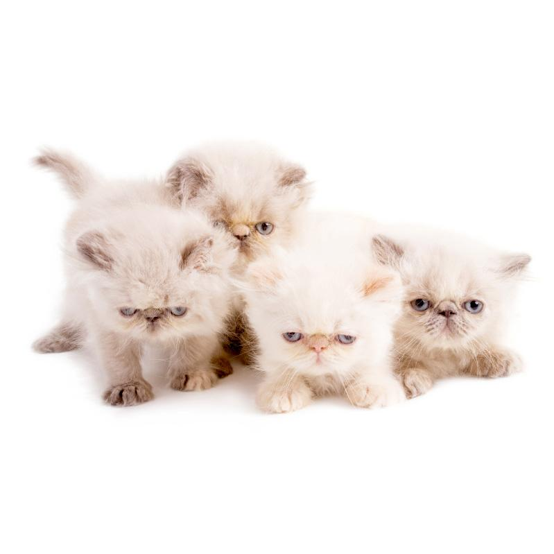 https://cf.ltkcdn.net/cats/images/slide/245225-799x799-persian-kittens.jpg
