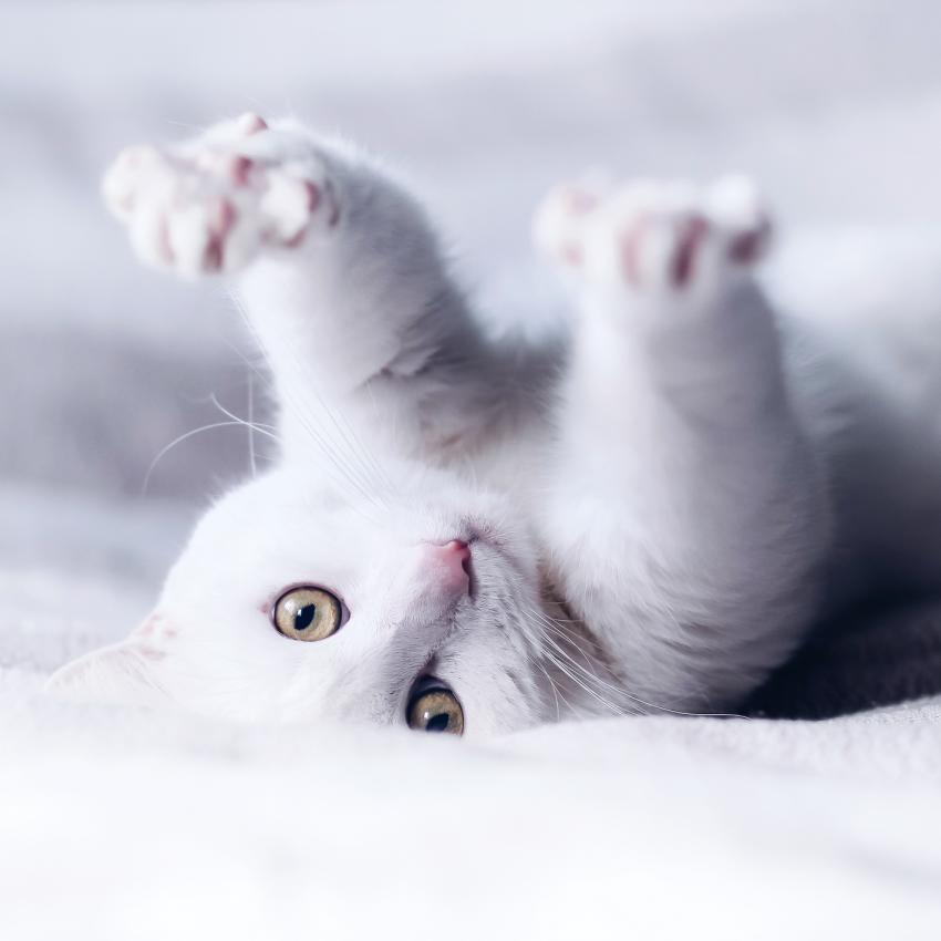 https://cf.ltkcdn.net/cats/images/slide/245228-850x850-white-cat.jpg