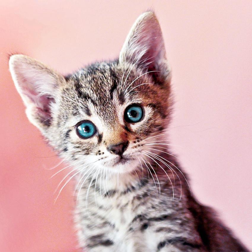 https://cf.ltkcdn.net/cats/images/slide/245229-850x850-cat-on-pink.jpg