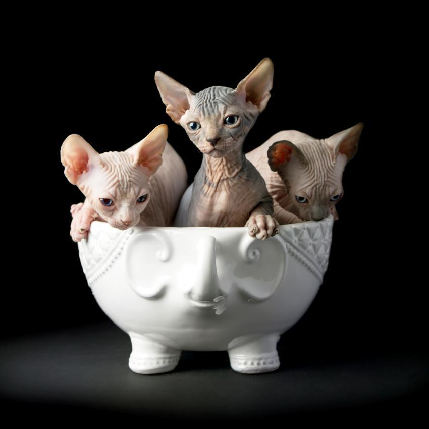 https://cf.ltkcdn.net/cats/images/slide/245230-850x850-sphynx-cat.jpg