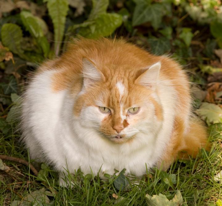 https://cf.ltkcdn.net/cats/images/slide/89805-719x668-Fat-cat-1.jpg