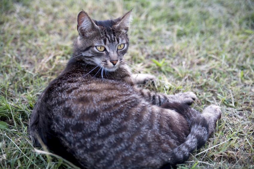https://cf.ltkcdn.net/cats/images/slide/89809-849x565-Fat-cat-4.jpg