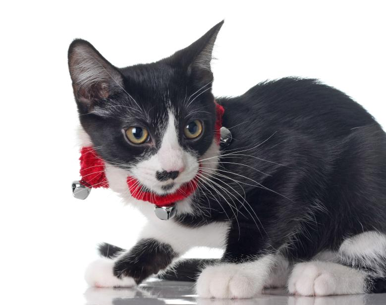 cat wearing a silver bells christmas collar