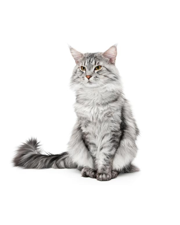 https://cf.ltkcdn.net/cats/images/slide/89912-620x774-maine-coon-6.jpg