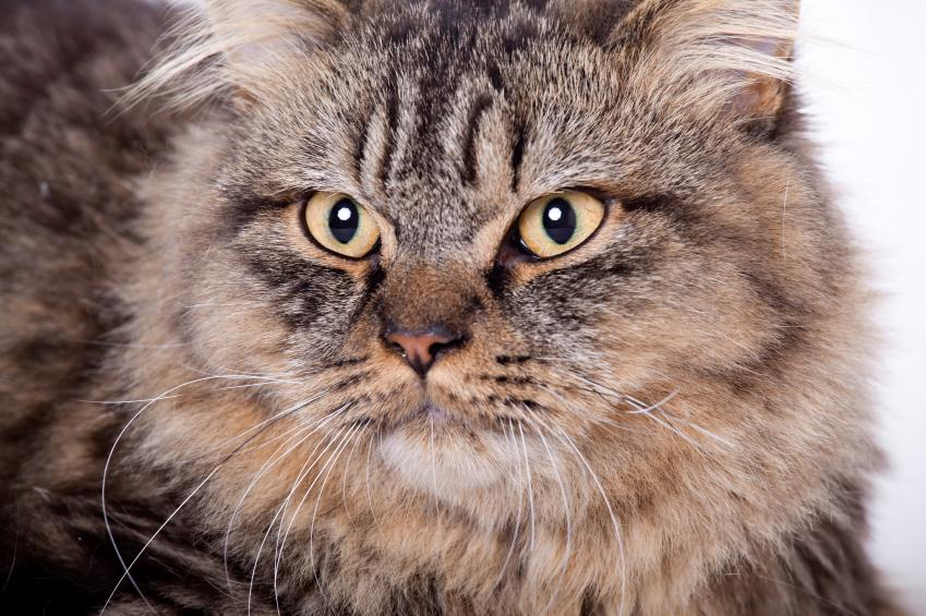 https://cf.ltkcdn.net/cats/images/slide/89913-849x565-maine-coon-5.jpg