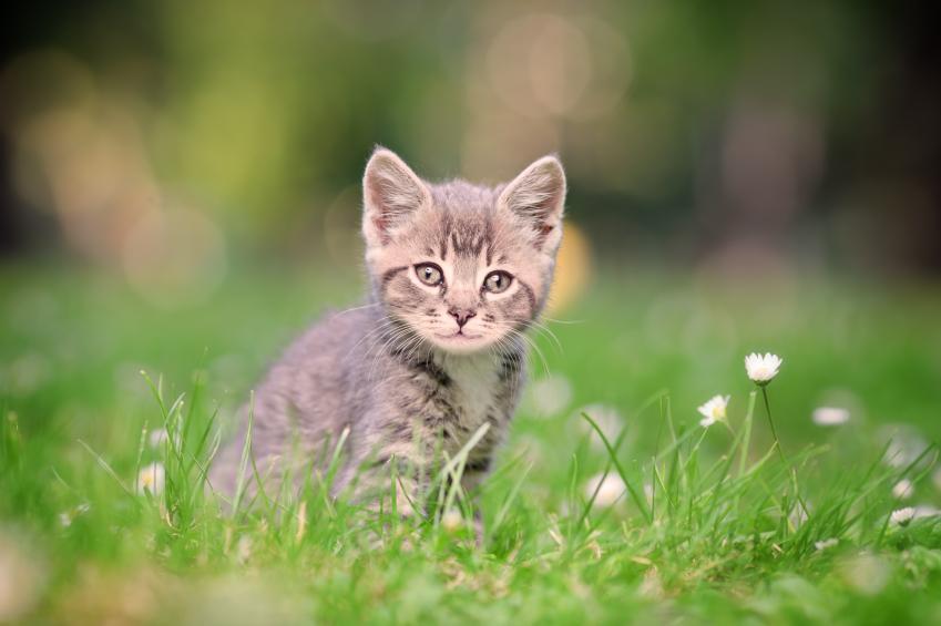 Wallpaper Of A Gray Tabby Kitten In Meadow