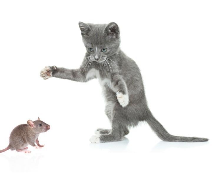 https://cf.ltkcdn.net/cats/images/slide/89949-744x645-mouse-catfood.jpg