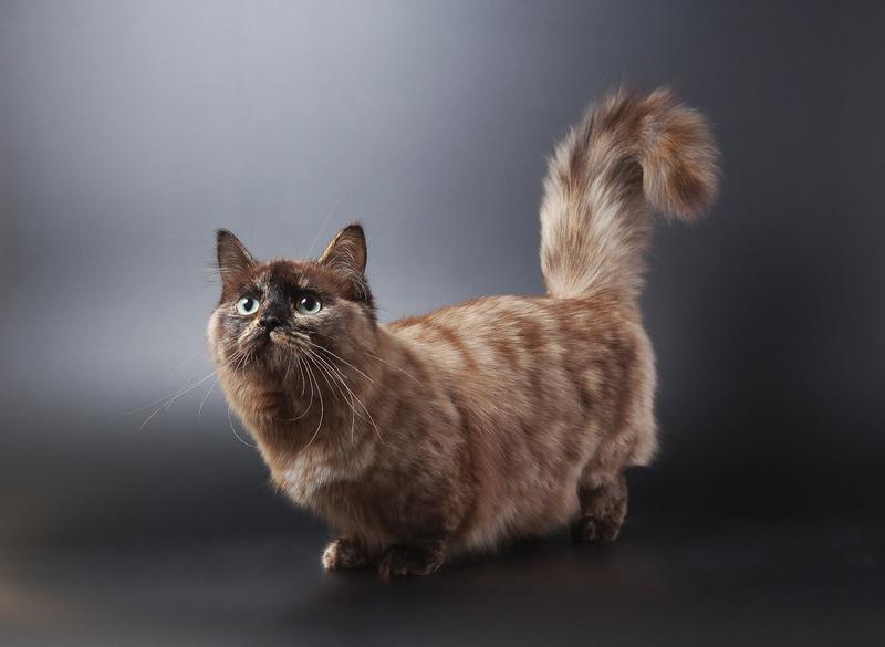 Adorable Munchkin Cat Gallery | LoveToKnow