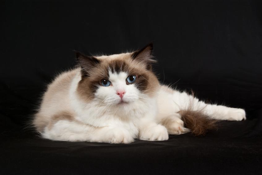 https://cf.ltkcdn.net/cats/images/slide/89999-847x567-Lovely_Ragdoll_7.jpg