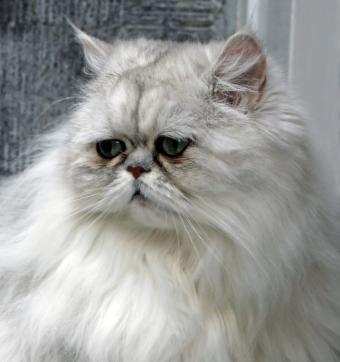 https://cf.ltkcdn.net/cats/images/slide/125505-671x715r1-Gentle-Persian.jpg