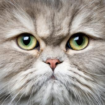 https://cf.ltkcdn.net/cats/images/slide/125508-693x693r1-Green-eyed-Persian.jpg