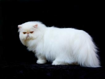 https://cf.ltkcdn.net/cats/images/slide/125509-800x600r1-Luxurious-Persian.jpg