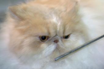 https://cf.ltkcdn.net/cats/images/slide/125510-849x565r1-Grooming-a-Persian.jpg