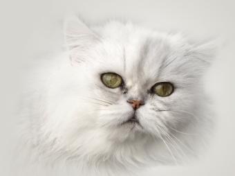 https://cf.ltkcdn.net/cats/images/slide/125511-801x599r1-Persian-portrait.jpg