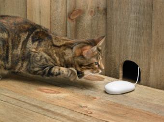https://cf.ltkcdn.net/cats/images/slide/128967-804x597r2-Kitty-chasing-mouse.jpg