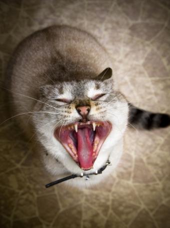 https://cf.ltkcdn.net/cats/images/slide/128969-598x803r2-Kitty-singing-opera.jpg