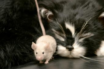 https://cf.ltkcdn.net/cats/images/slide/128971-849x565r2-Kitty-sleeping-and-sneaky-mouse.jpg
