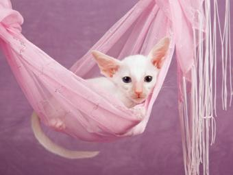 White Oriental kitten