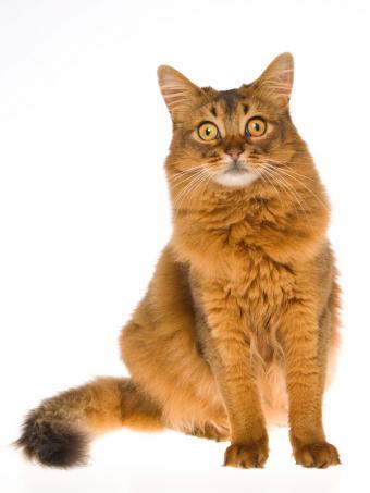 https://cf.ltkcdn.net/cats/images/slide/130994-600x800r1-Somali-cat.jpg