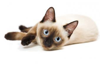 https://cf.ltkcdn.net/cats/images/slide/131211-800x533r1-Blue-eyed-Siamese.jpg