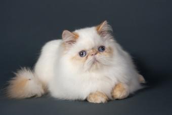 https://cf.ltkcdn.net/cats/images/slide/131212-800x533r1-Blue-eyed-Persian.jpg