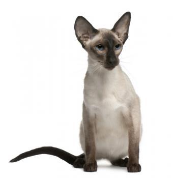 https://cf.ltkcdn.net/cats/images/slide/131216-778x800r1-Blue-eyed-Balinese.jpg