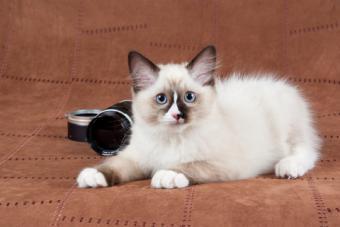 Mitted Ragdoll kitten