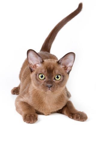 brown Burmese cat