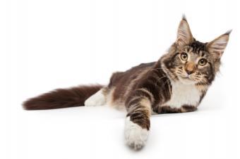 https://cf.ltkcdn.net/cats/images/slide/141551-849x565r1-maine-coon-cat-paw-forward.jpg