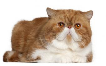 https://cf.ltkcdn.net/cats/images/slide/141552-800x501r1-Exotic-Shorthair.jpg